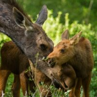 Reconciled by a Baby Moose
